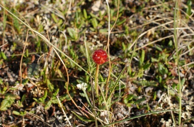 Image 4 Samoylov island is not only famous for the research. There grows also lollipops. Picture: Leena-Kaisa Viitanen, AWI.